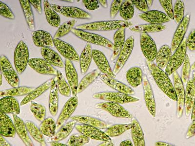 Living Protozoa Euglena Gracilis Showing Flagella, Stigma, and Chloroplast
