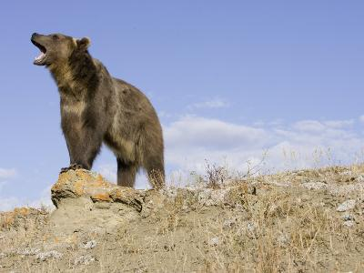 A Grizzly Bear, Ursus Arctos, North America