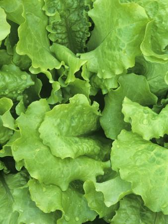 Lettuce Leaves of the Black-Seeded Simpson Variety (Lactuca Sativa)