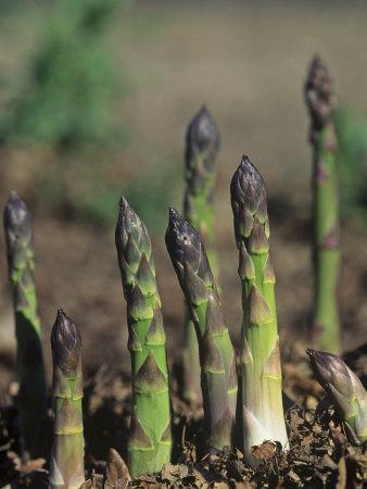 Young Asparagus Plants Growing, Asparagus Officinalis