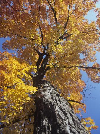 Sugar Maple in Fall Colors, Acer Saccharum, Eastern North America