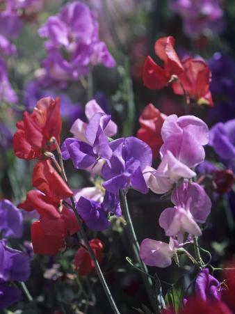Variation in Sweet Pea Flowers, Lathurus Odoratus