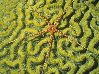 Brittle Star on a Brain Coral Green with Zooanthellae Algae. Fiji