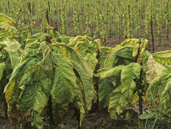 Tobacco Plants at Harvest Time, Nicotiana Tabacum, North Carolina, USA
