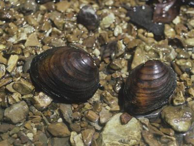 Round Pig Toe Mussel (Pleurobema Coccineum), a Freshwater Species, Central USA