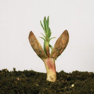 Peanut (Arachis Hypogea) Germinating Seedling with First Leaves and Cotyledons