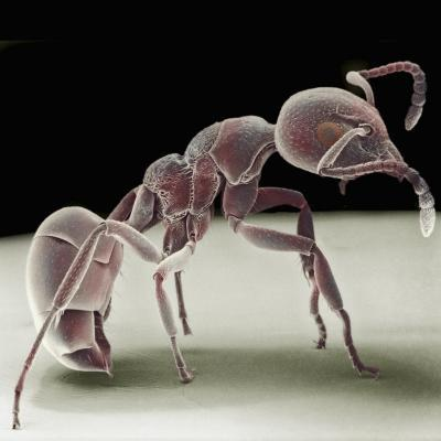 Side View of an Ant