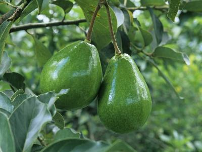 Avocado Fruits on the Tree (Persea Americana)