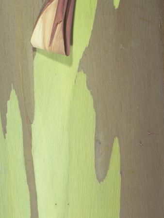 Close-Up of Rainbow Eucalyptus Tree Bark, Eucalyptus Deglupta, Australia