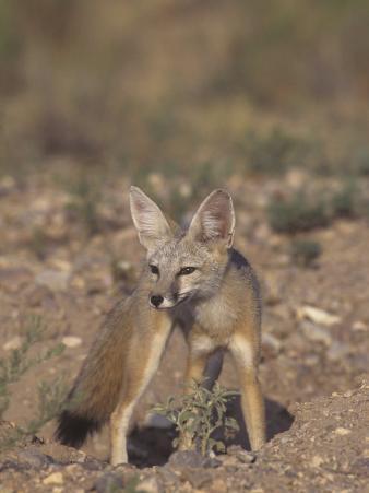 Kit Fox (Vulpes Macrotis), Southwestern North America