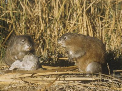 Muskrats (Ondatra Zibethicus) in a Marsh Habitat, USA