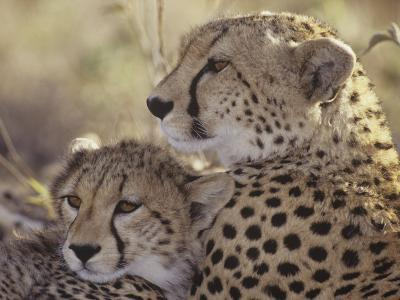Cheetah Cub with its Mother, Acinonyx Jubatus, East Africa