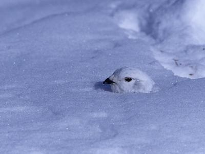 White-Tailed Ptarmigan, Lagopus Leucurus, in Winter Plumage Almost Buried by Snow, North America