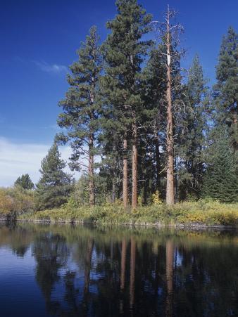 Ponderosa Pines on the Shore of a Mountain Lake, Pinus Ponderosa, Western North America