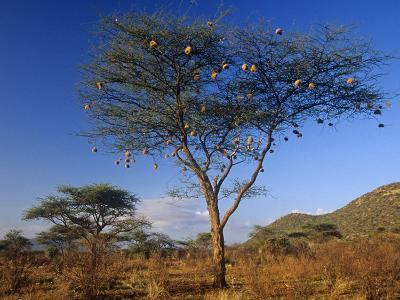 Numerous Weaver Nests in an Acacia Tree in the Savanna of Samburu Game Reserve, Kenya, Africa