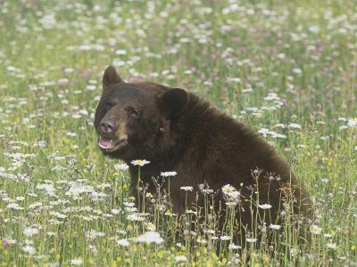Black Bear in a Mountain Wildflower Meadow, Ursus Americanus, North America