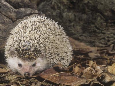 African Hedgehog, Atelerix Albiventris, East Africa