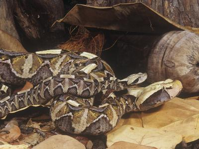 Gaboon Viper Adult and Young, Bitis Gabonica, Central Africa