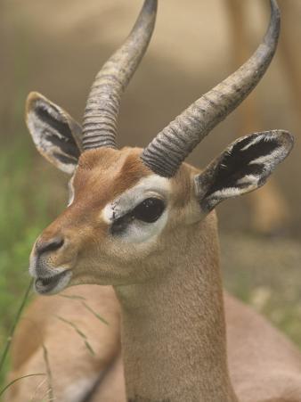Buck Gerenuk Head, Litocranius Walleri, Samburu, Kenya, Africa