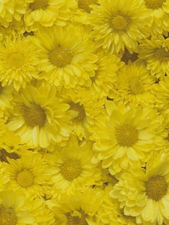 Yellow Garden Chrysanthemums