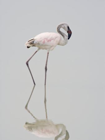 Lesser Flamingo Juvenile (Phoenicopterus Minor), Ngorongoro Crater, Tanzania, East Africa