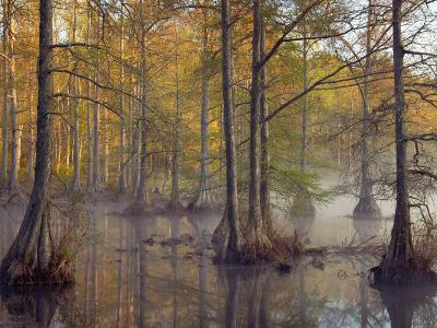 Bald Cypress Trees (Taxodium Distichum) in Spring Lake, Wall Doxey State Park, Mississippi, USA
