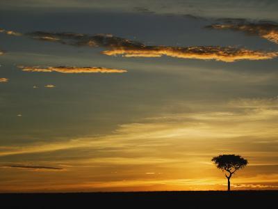 Acacia Tree Silhouetted at Sunrise, Masai Mara, Kenya