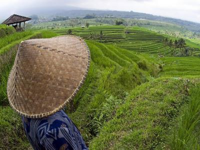 An Indonesian Worker Looks Out over Terraced Rice Paddies in the Interior of Bali, Indonesia