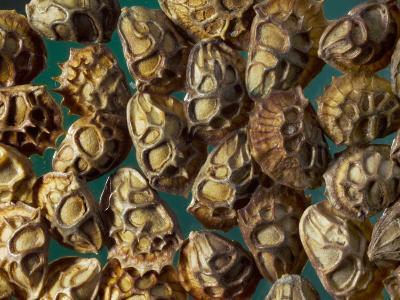 Sainfoin Seeds