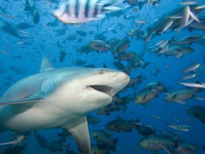 Bull Shark (Carcharhinus Leucas), Fiji