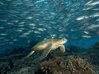 Green Sea Turtle (Chelonia Mydas) Swimming over a Coral Reef Among Schooling Fish, Malaysia