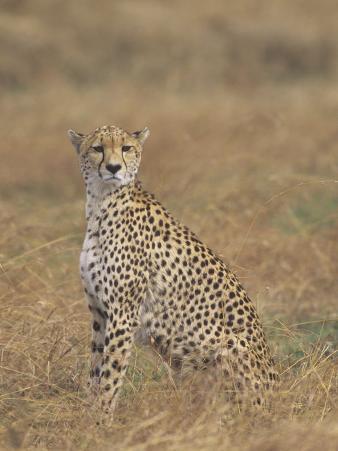 Cheetah, Acinonyx Jubatus, Surveying the Landscape for Prey, East Africa