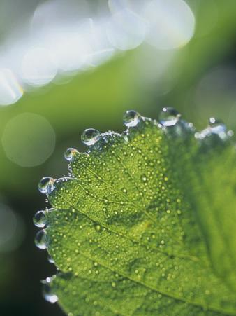 Close-Up of Guttation Droplets on a Strawberry Leaf, Frageria