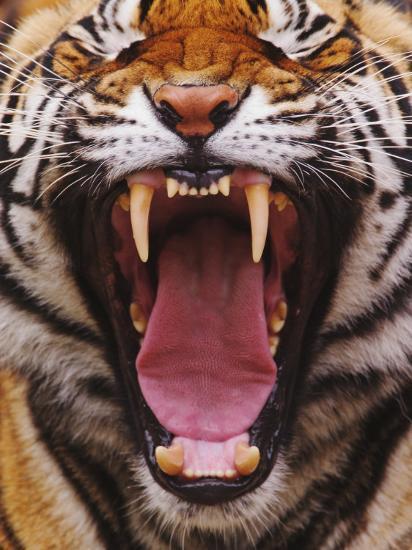 Bengal Tiger Face Showing Teeth And Tongue Panthera