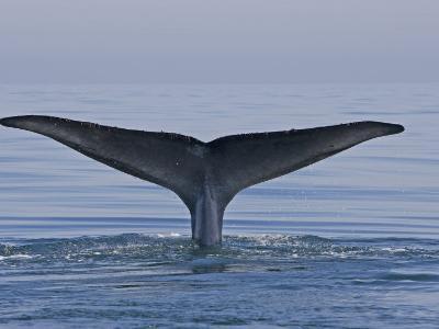 Blue Whale Tail Fluke (Balaenoptera Musculus), Baja California, Mexico