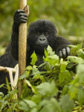Young Mountain Gorilla, Gorilla Gorilla Beringei, in Volcanoes National Park, Rwanda, Africa