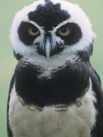 Spectacled Owl Head, Pulsatrix Perspicillata, Central and South America