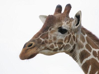 Giraffe Head, Giraffa Camelopardalis, Kenya, Africa