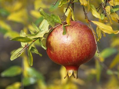 Pomegranate Fruit on a Tree (Punica Granatum)