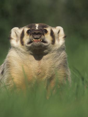 Badger Snarling, Taxidea Taxus, North America