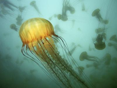 Sea Nettle (Chrysaora Fuscescens) Jelly Swarm