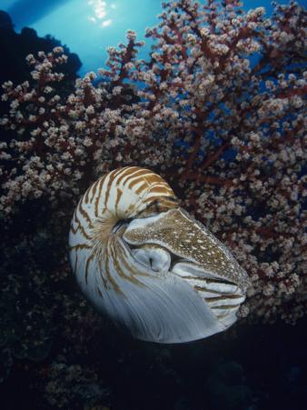Chambered Nautilus (Nautilus Pompilius) and Soft Coral, Indonesia