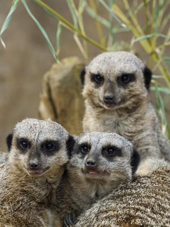 Group of Meerkats (Suricata Suricatta)