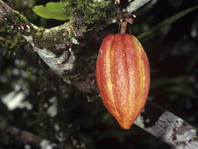 Ripe Cacao Fruit or Pod. Cultivated United Fruit 667, One of Cultivated Clones at Catie Research