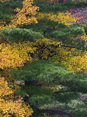 Comparison of Evergreen Conifer Needles with the Fall Leaves of Deciduous Trees, Eastern USA