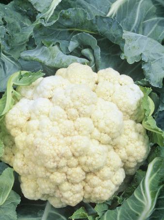 Cauliflower (Brassica Oleracea), Snow Crown Variety