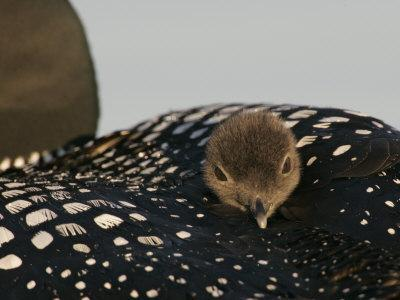 Common Loon Chick Riding on its Mother's Back, Gavia Immer, North America
