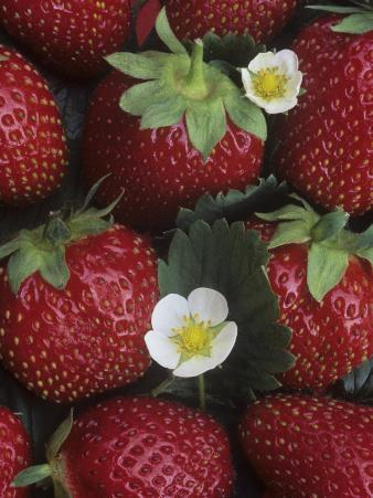Strawberries, 'sparkle' Variety