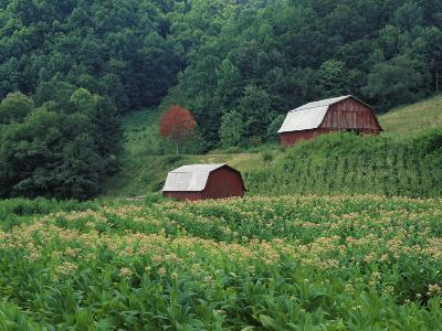 Tobacco Field and a Pair of Red Barns Near Taylorsville, North Carolina, USA