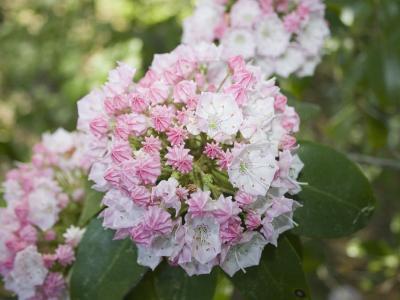 Mountain Laurel Flowers (Kalmia Latifolia), Eastern North America